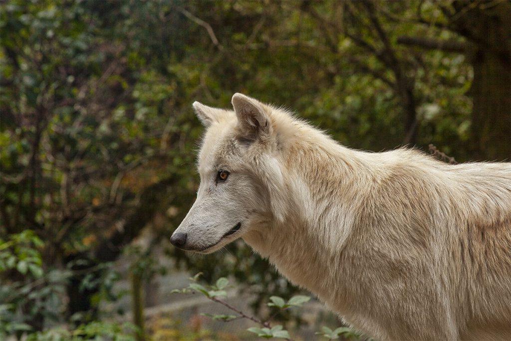 Parque de Lobos de Gévaudan